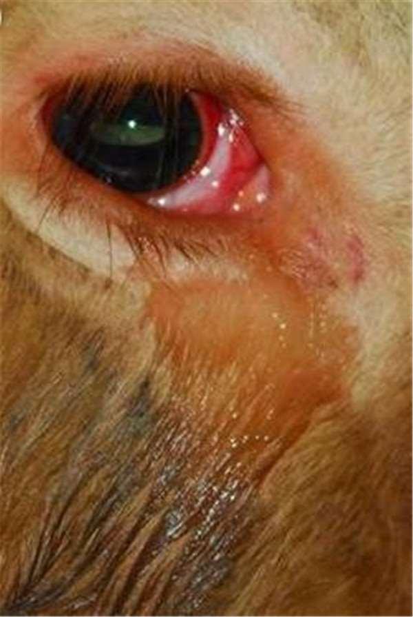 Con bò sắp bị mổ quỳ xuống cầu cứu, sau khi bác sĩ thú y kiểm tra tiết lộ sự thật khiến mọi người đều nghẹn lòng